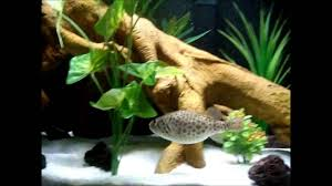 Tetraodon Abei - Freshwater Puffer Fish - New Aquascape - YouTube Adrie Baumann And Aquascaping Aqua Rebell Natural Httpwwwokeanosgrombgwpcoentuploads2012 Amazoncom Aquarium Plant Glass Pot Fish Tank Aquascape Everything About The Incredible Undwater Art Outstanding Saltwater Designs Photo Ideas Anubias Nana Petite Planted Freshwater Beautify Your Home With Unique For Large Fish Monstfishkeeperscom Scape Nature Stock 665323012