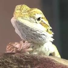 Bearded Dragon Shedding A Lot by Best 25 Bearded Dragon Cage Ideas On Pinterest Bearded Dragon