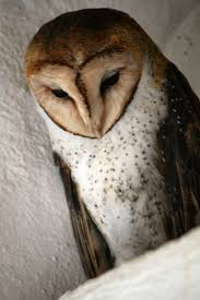 137 Best Hoot Images On Pinterest | Barn Owls, Bird Art And Owl Art 382 Best Barn Owls Images On Pinterest Barn Owl Photos And Beautiful My Sisters Favorite It Used To Be Mine Pin By Hans De Graaf Uilen Bird Animal Totem Native American Zodiac Signs Birth Symbolism Meaning Dreams Spirit 1861 Snowy Saw Whets 741 Owls Birds 149 Animals 2 Snowy Owl Necklace Ceramic Pendant The Goddess Touch Animism Youtube Pole Trollgirl Deviantart