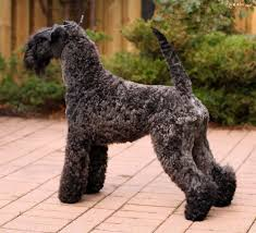 Non Shedding Large Dogs by Pies Kerry Blue Terrier Wheaten Terrier Kerry Blue Terrier