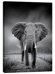 leinwandbild elefant auf schwarzem hintergrund