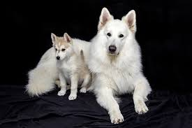 Hypoallergenic Dog Breeds That Dont Shed by Dogs That Don U0027t Shed Hypoallergenic Allergy Safe Puppy Breeds