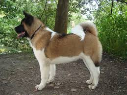 Do American Akitas Shed by Big Akita Pictures Dog Breeds Puppies Japanese Breed Akita Pictures