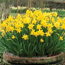 narcissi tete a tete bulbs from mr fothergill s seeds and plants
