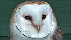 Barn Owl At Screech Owl Sanctuary - YouTube Catching Prey In The Dark Barn Owl Tyto Alba Owls Make A Comeback Iowa The Gazette Of Australia Australian Geographic How To Build Or Buy Nest Box Company Best 25 Ideas On Pinterest Beautiful Owl Owls And Modern Farmer Absolutely Stunning Barn Drawing From Artist Vanessa Foley Audubon California Starr Ranch Live Webcams Red By Thef0xdeviantartcom Deviantart Tattoo Scvnewscom Opinioncommentary Beautifully Adapted 9 Best Images A Smile Animal Fun