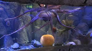 trick or treating octopus at sea aquarium