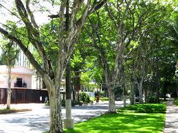 100 Pau Brazil Pau Ferro Trees Caesalpinea Ferrea Ironwood Av