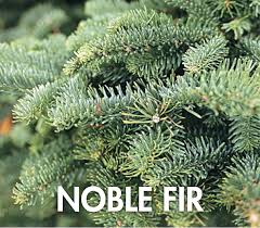 Silvertip Fir Christmas Tree by Fresh Cut U0026 Flocked Christmas Trees Dennis U0027 7 Dees
