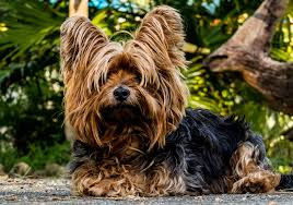 Small Non Shedding Dogs For Adoption by The 7 Best Dog Breeds For Fighting Depression