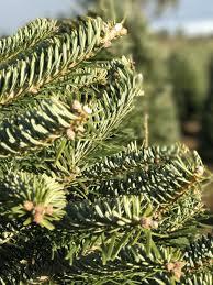 Silvertip Fir Christmas Tree by Trees U2014 Btn Of Oregon