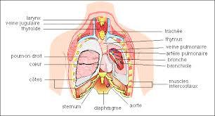 interieur corps humain femme le corps humain anatomie physiologie