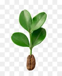 Coffee Tree PNG Transparent Clipart Free Download