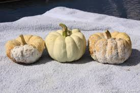 Ohio State Pumpkin Designs by Pythium And Phytophthora Pummel Pumpkins In Ne Ohio Bygl