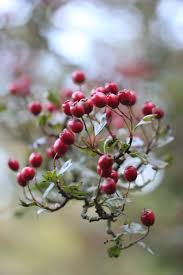 Winterberry Christmas Tree Farm by Best 25 Red Berries Ideas On Pinterest Diy Door Wreaths