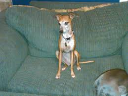 Why Is My Italian Greyhound Shedding by Freshpet Freshpet Select Tender Chicken With Crisp Carrots