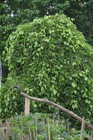 Dwarf Weeping Mulberry