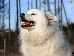 American Eskimo Shedding Problem by Canadian Eskimo Dog Dog Breed Information Buying Advice Photos
