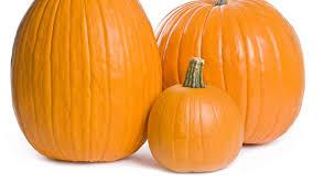 Pumpkin Picking In Ct by Pumpkin Picking Ct Lyman Orchards