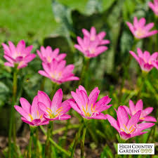 zephyranthes pink bulbs lilies lilies