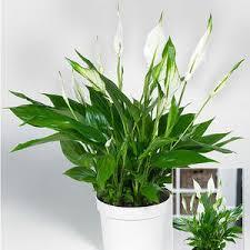 einblatt spathiphyllum pflanzen und pflegen mein schöner