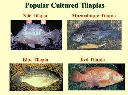 3 Nile TilapiaMozambique Tilapia Blue TilapiaRed Popular Cultured Tilapias