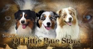 accueil elevage of blue eleveur de chiens berger