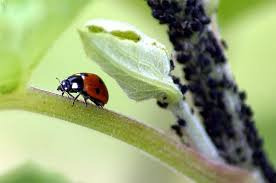 Attracting Insects To Your Garden by How To Make A Ladybug Feeder U0026amp Attract Them To Your Garden