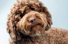Cute Non Shedding Dog Breeds by Poodles Labradoodles And Portuguese Water Dogs Cute But Not As