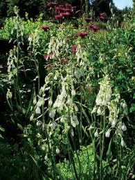 eremurus orange marmelade foxtail bulbs bulbs and