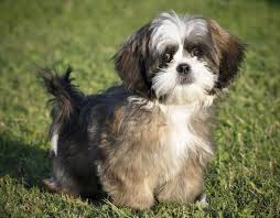 Dogs That Shed Hair by A List Of Small Dogs That Don U0027t Shed Unbelievable But True