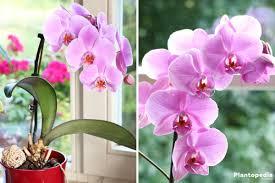 orchidée conseils d entretien rempotage culture et arrosage