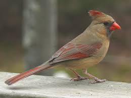 General Information About The Northern Cardinal- Cardinalis ... Wild Birds Unlimited Common Backyard Bird Nest Idenfication Sounds Articles Old Farmers Almanac Whibreasted Nuthatch Sitta Carolinensis Birds Certhioidea Best 25 Birds Ideas On Pinterest Pretty Blue A Brown Headed Cowbird At Thicksons Woods Debunk 12 Myths About Feeding Cute Rbreasted Nuthatch Winter Of Wisconsin Species Infographic Poster By Diana Sudyka The Worlds Photos And Sviceberry Flickr Hive Mind Grow These Native Plants So Your Can Feast Audubon What I Find In My Ontario Canada Youtube
