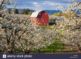 Apple Blossom Trees And A Red Barn In Hood River Valley Columbia ... Herb Apple Gruyere Scones Now Forager The Best Picking Near Atlanta In Map Form Tennessee Seerville Barn Orchard Winesap Apples 18 Bushel Red Orchards Mt Hood Stock Image 24641381 Orchard Front Mount Photo 27690034 Shutterstock Winery Elkhorn Wi Barnquilt Appleorchard Mapping Georgias In Time For Fall Splendor Experience Autumn At Edwards West