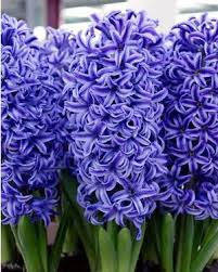 35 best hyacinths images on beautiful flowers plants