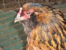 Blind hen with bluish white pupil