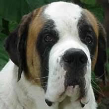 Do Smooth Coat St Bernards Shed by St Bernard Puppies For Sale