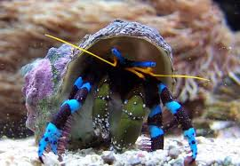 decorator crabs eat fish reef crabs not someone who complains about the holidays