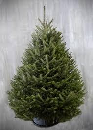 Balsam Fir Christmas Trees