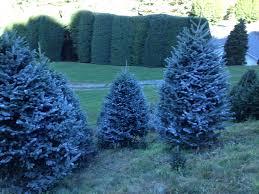 Fraser Fir Christmas Trees Nc by Cartner Christmas Tree Farm Buy Wholesale