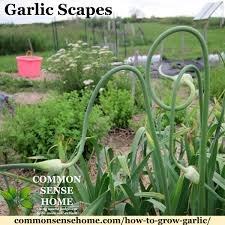 How To Grow Garlic In The Garden Easy Guide To Growing Garlic