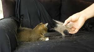 My Short Haired Dog Sheds A Lot by Fast Cat Hair Removal By Hand Painless How To Youtube