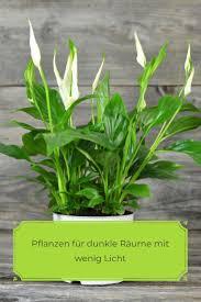 pflanzen für dunkle räume vivanno pflanzen pflanzen für