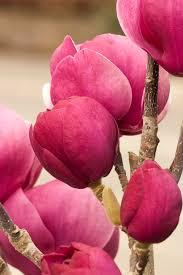 Black Tulip™ Magnolia Monrovia Black Tulip™ Magnolia