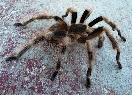 Do Tarantulas Shed Their Legs by Sexing
