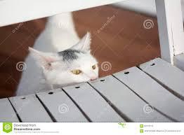 White Cat Peeking Behind The White Old Rocking Chair Stock ...