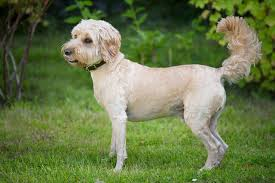 about cockapoo dogs cuteness