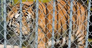 Tiger Kept At Truck Stop For 17 Years Dies, But The Legal Battle Isn ...