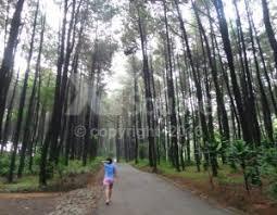 Hutan Pinus Mangunan Tempat Foto Selfie Keren Di Yogyakarta