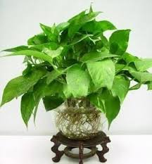 Plants In Bathroom Good For Feng Shui by Feng Shui Money Plant Xiaoming U0027s Goodwill Feng Shui Advice