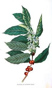 Coffee Bean Plant Drawing